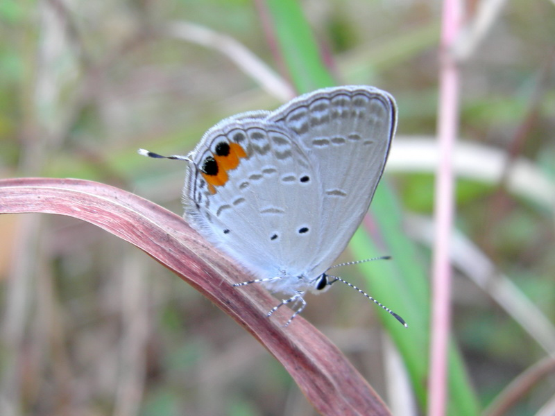 Indian Cupid - ssp lacturnus - female - Phuket